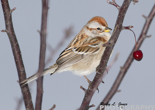 Christmas Sparrow by Ricky L. Jones Photography