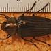Small photo of Jewel Beetle (Actenodes chalybaeitarsis)