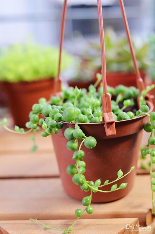 2012多肉植物25.jpg
