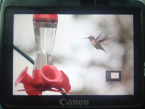 Rufous Hummingbird- HY Female Silver Springs, MD