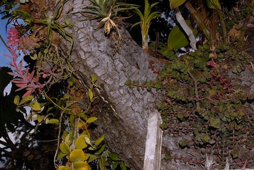Echeveria rosea and Tillandsia bulbosa
