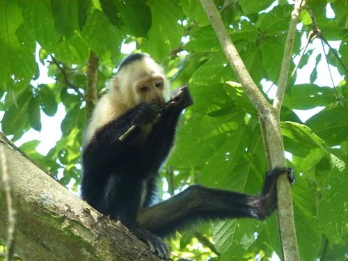 Hacienda Baru National Wildlife Refuge - kapucijnaap 2