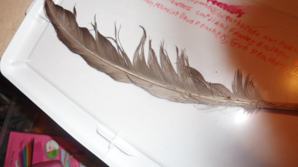 Canada goose secondary feather