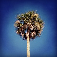 Solitary Palm Tree