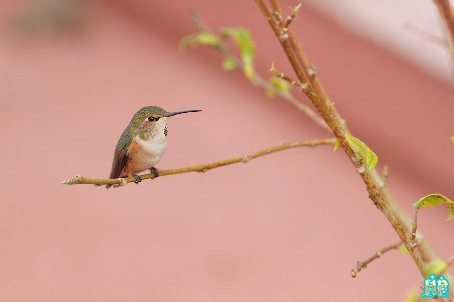 Allen's Hummingbird 010213-4