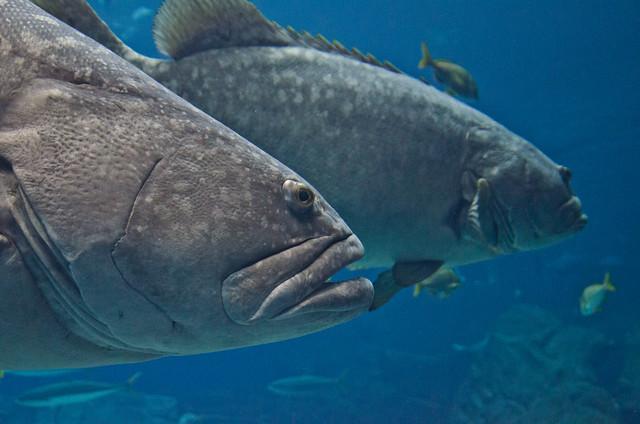 fishing saltwater recreational goliath grouper