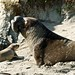 Big battle-scarred bull Northern Elephant Seal
