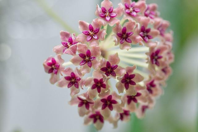 Hoya paulshirleyi