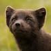 Refur - Arctic Fox - Vulpes lagopus by Elma_Ben
