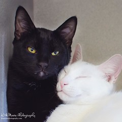 This truly is brotherly #kitten love, if I ever did see it! Jacks and Willie are always snuggling with each other, and waiting for someone to #adopt them; I can't figure out why this little #yinandyang pair hasn't caught someone's eye...too #cute...just p