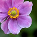 Anemone hupehensis by 5348 Franco