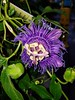 Day 270: passion flower