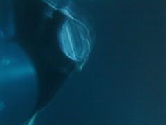 manta_no_plankton
