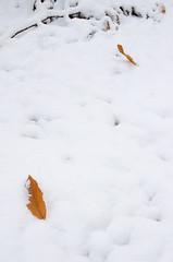 Blätter im Erstschnee