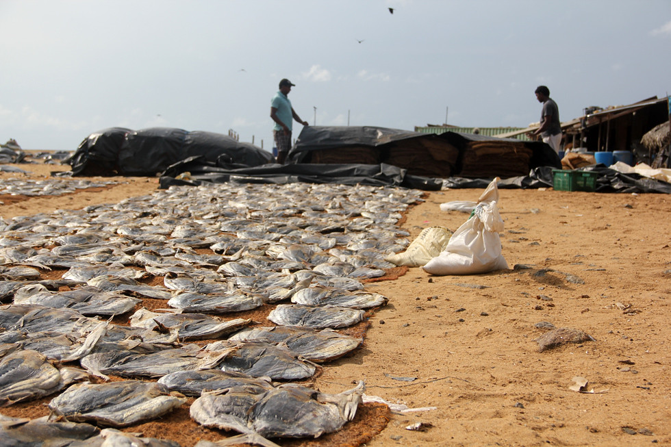 Drying Fish in Sri Lanka