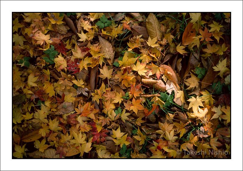 黄色い落葉 / Yellow leaves