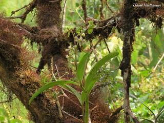 Prostechaea sp. (affine a vespa) in situ, Valle del Dagua, Valle del Cauca, Colombia