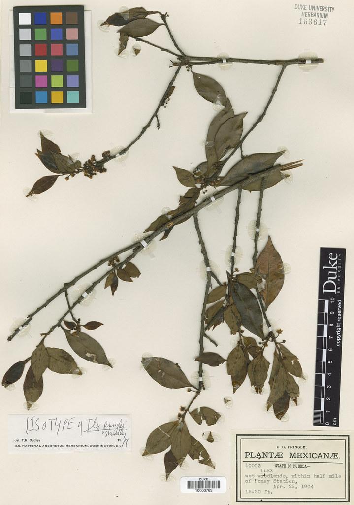 Aquifoliaceae_Ilex pringlei