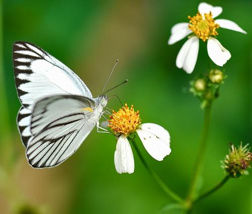macro art nature butterfly singapore stripedalbatross appiaslibytheaolferna
