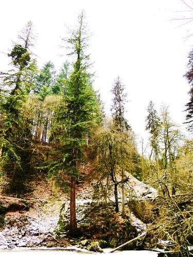 Tall Tree, Falls of Braan, Scotland