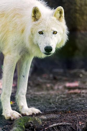 Standing polar wolf by Tambako the Jaguar