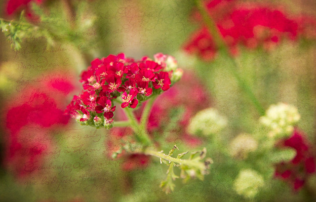 Red, Flowers, Texture, Pops Digital, Bill Pevlor
