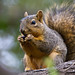 Eastern fox squirrel - Photo (c) BJ Stacey, all rights reserved