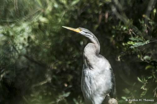 355-366 Darter Bird
