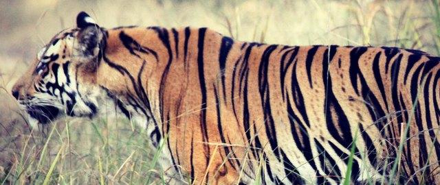 bandhavgarh safari