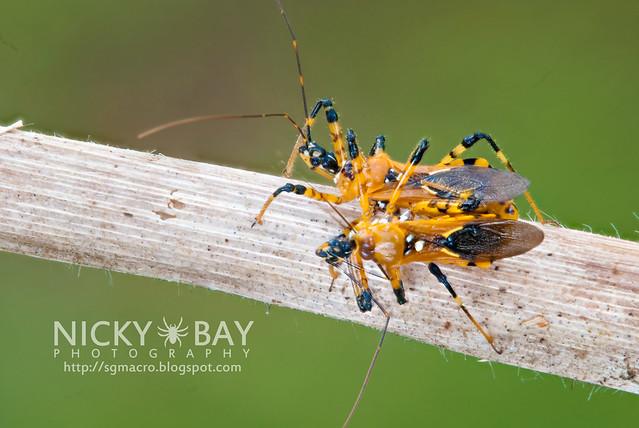 Assassin Bugs (Reduviidae) - DSC_2789
