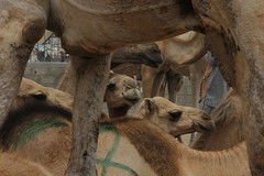 Camel Market (32)