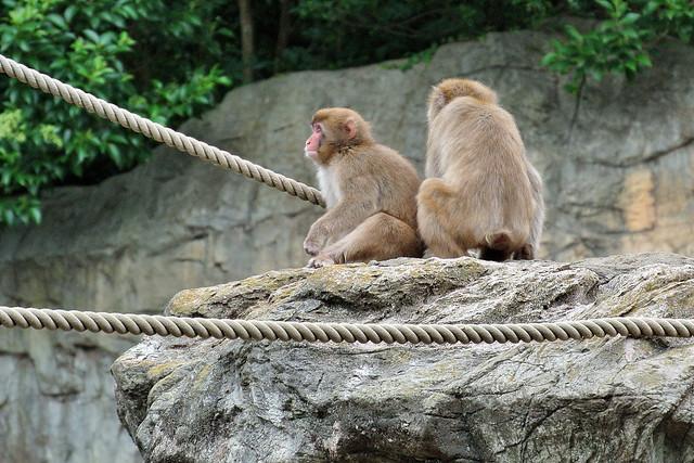 ニホンザル (Japanese monkey)