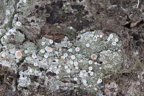 Ochrolechia oregonensis