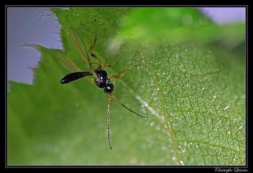 Braconidae (Alysiinae ?)