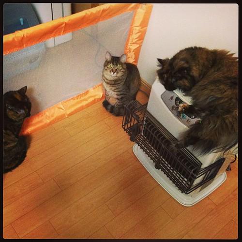 会議中 #cat #tortie