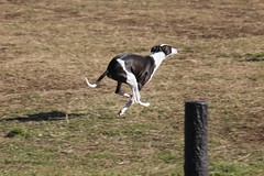 dog sports, animal, hound, dog, greyhound racing, whippet, mammal, greyhound, pointer,