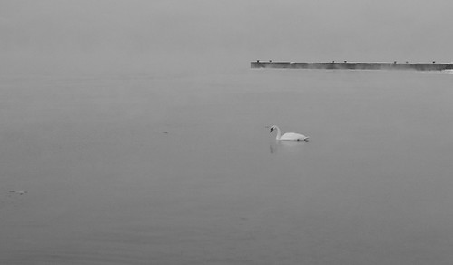 A Lonely Swan in the Sea