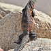Western Spiny-tailed Iguana - Photo (c) Don Loarie, some rights reserved (CC BY-NC-SA)