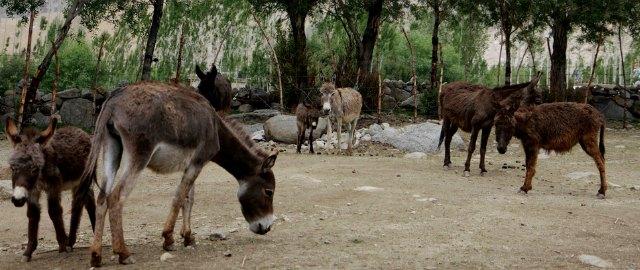 donkey sanctuary leh
