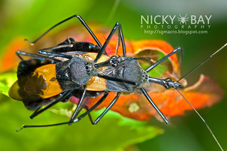 Assassin Bug (Reduviidae) - DSC_8184