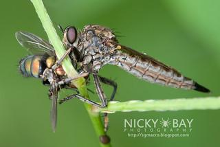Robberfly (Asilidae) - DSC_9104