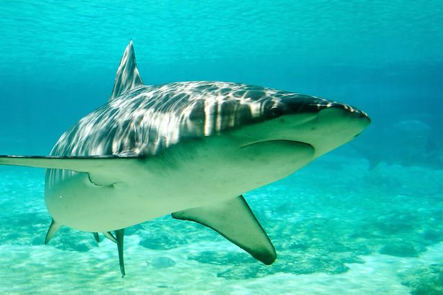 穿戴式科技跑到海裡啦!澳洲的鯊魚會打卡!
