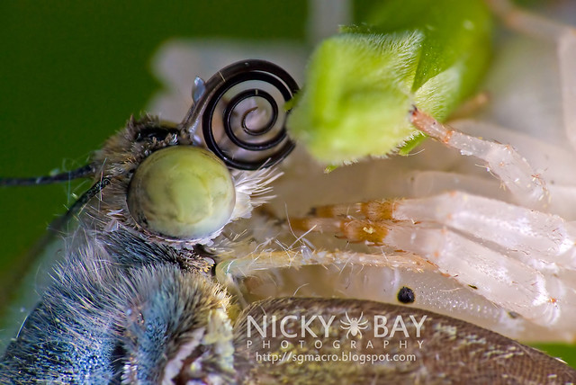 Crab Spider (Thomisidae) preying on Lemon Emigrant (Catopsilla pomona) - DSC_9505