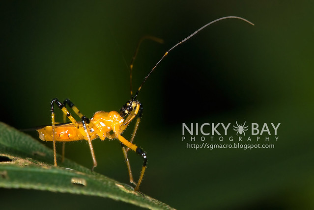 Assassin Bug (Reduviidae) - DSC_1830