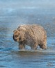 Brown Bear Shake by Glatz Nature Photography