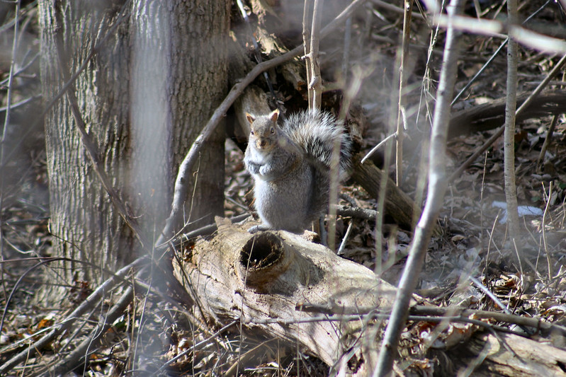 0000105- Canon Picture 03-26-05 grey squirrel 04 CC