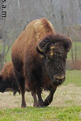 Buffalo of Land Between the Lakes