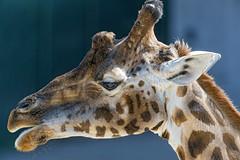 Nice profile of a giraffe