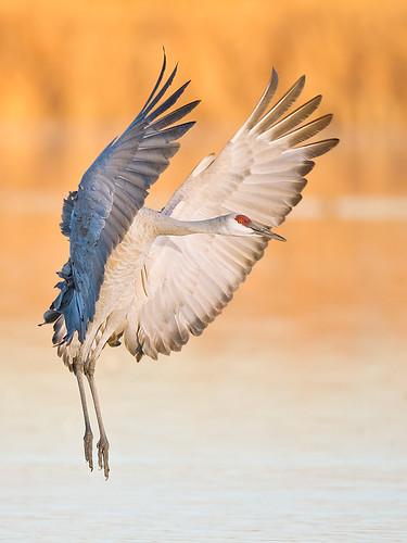 """Hands-up"" Flight Deck Sandhill Landing by Jeff Dyck"