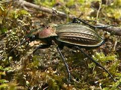 Ground Beetle (Tachypus cancellatus) found under moss